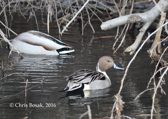 Photo by Chris Bosak A Northern Pintail Drake swims among Mallards in Danbury, Jan. 2016.