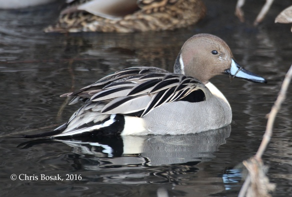 Photo by Chris Bosak A Northern Pintail swims in a small pond in Danbury, Conn., in Jan. 2016.