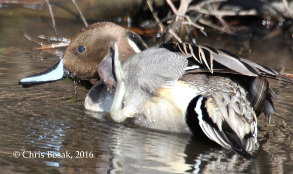 Photo by Chris Bosak A Northern Pintail scratches his head in a small pond in Danbury, Conn., Jan. 2016.