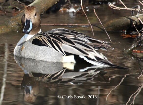 Photo by Chris Bosak A Northern Pintail swims in a small pond in Danbury, Conn., Jan. 2016.