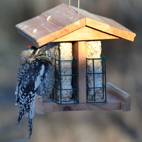 Photo by Chris Bosak A Yellow-bellied Sapsucker visits a suet feeder during a cold snap in Danbury, Conn., Feb. 2016.