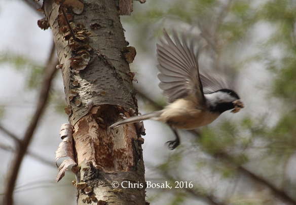 Photo by Chris Bosak A Black-capped Chickadee cleans out a hole for a home to raise a family in Danbury, Conn., 2016.