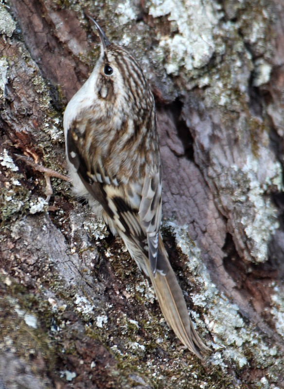 Photo by Chris Bosak A Brown Creeper clings to an oak tree in Danbury, Conn., Feb. 2016