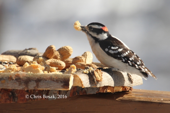 Photo by Chris Bosak A Downy Woodpecker eats some Bark Butter from a new bird feeder in Danbury, Conn., March 2016.
