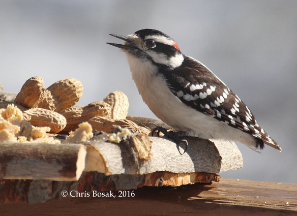 Photo by Chris Bosak A Downy Woodpecker checks out a new bird feeder in Danbury, Conn., March 2016.