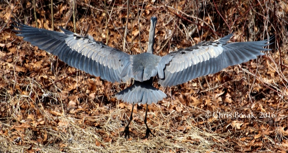 Photo by Chris Bosak A Great Blue Heron comes in for a landing at a pond in New England, March 2016.