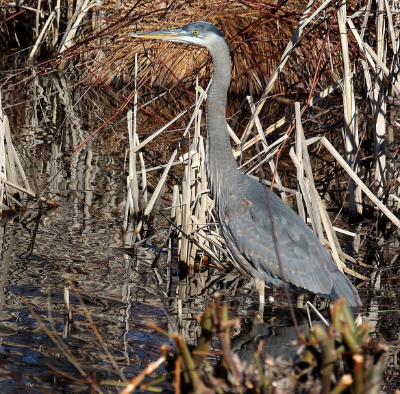 https://birdsofnewengland.files.wordpress.com/2016/03/great-blue-heron.jpg?w=584&h=577