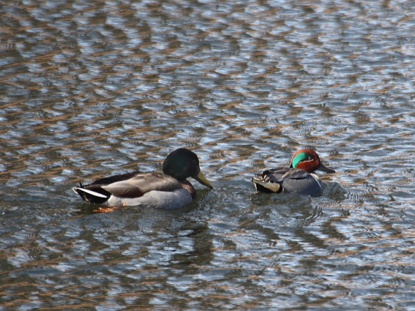 Photo by Chris Bosak A Mallard and Green-winged Teal swim in a pond at a cemetery in Darien, Conn., March 2016.