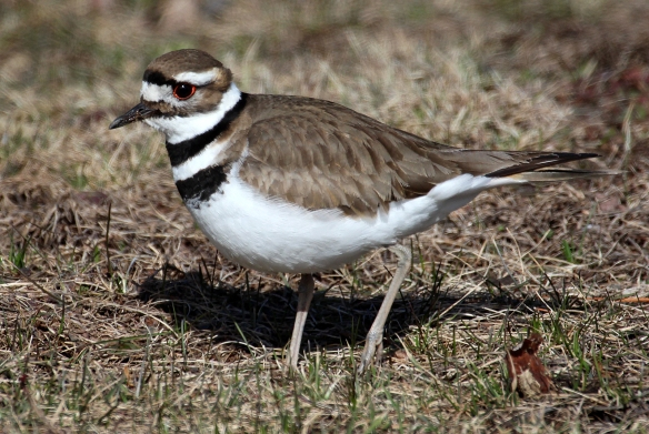 https://birdsofnewengland.files.wordpress.com/2016/03/killdeer.jpg