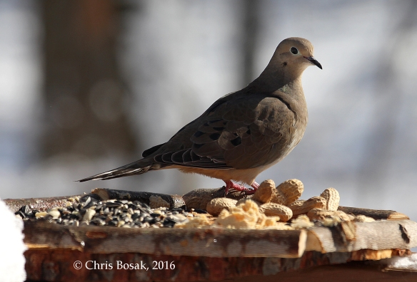 Photo by Chris Bosak A Mourning Dove checks out a new bird feeder in Danbury, Conn., March 2016.