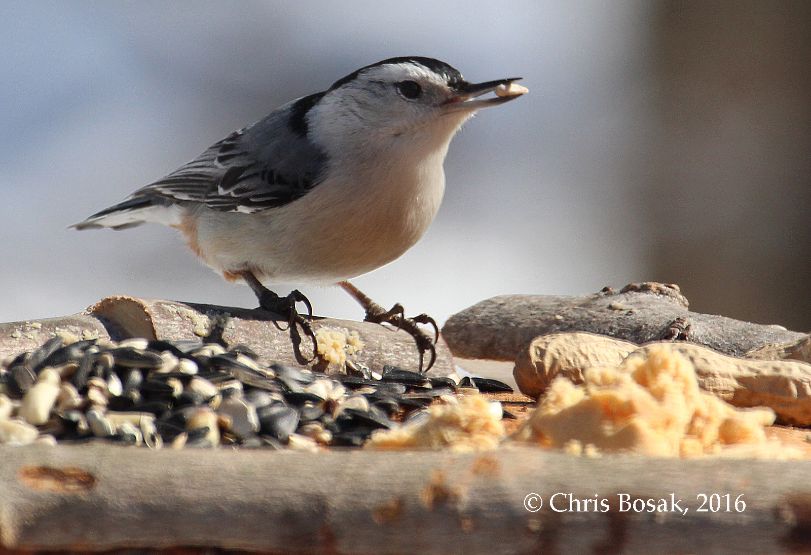 Photo by Chris Bosak A White-breasted Nuthatch checks out a new bird feeder in Danbury, Conn., March 2016.