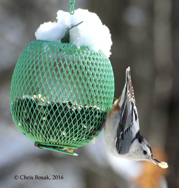 Photo by Chris Bosak A White-breasted Nuthatch takes a peanut from a feeder following a spring snow fall in New England in March 2016.
