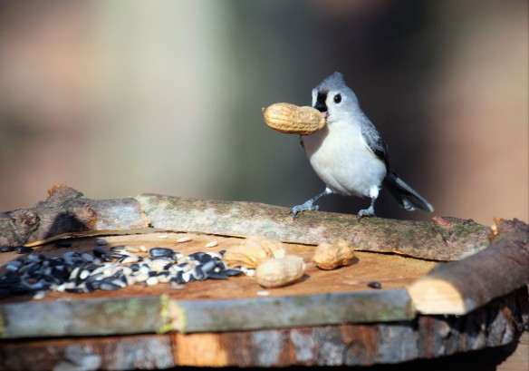 Photo by Chris Bosak A Tufted Titmouse takes a peanut from a new bird feeder in Danbury, Conn., March 2016.