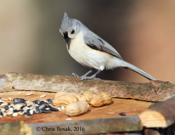 Photo by Chris Bosak A Tufted Titmouse checks out a new birdfeeder in Danbury, Conn., March 2016.