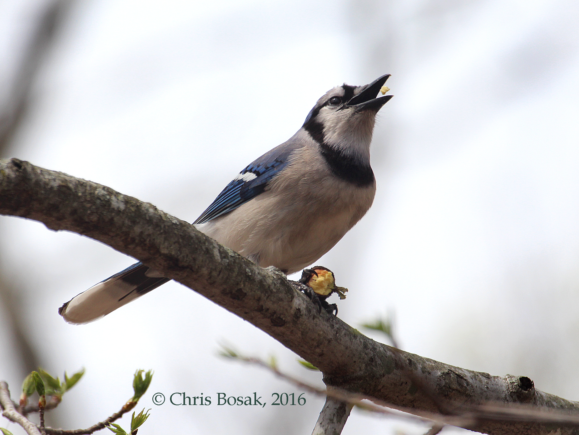 Photo by Chris Bosak A Blue Jay eats an acorn at Selleck's Woods in Darien, Conn., April 2016.