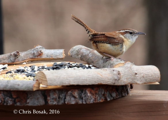 Photo by Chris Bosak A Carolina Wren perches on a bird feeder at Merganser Lake in Danbury, Conn., April 2016.