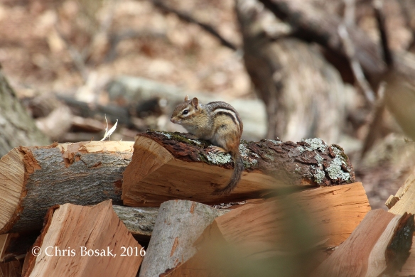 Photo by Chris Bosak A chipmunk stands atop a pile of wood at Merganser Lake in Danbury, Conn.