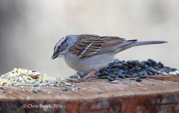 Photo by Chris Bosak A Chipping Sparrow visits a homemade birdfeeder in Danbury, Conn., April 2016.
