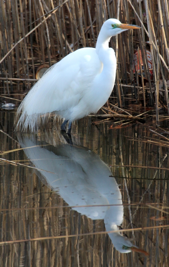 Photo by Chris Bosak A Great Egret stands in the Norwalk River in this April 2016 photo.