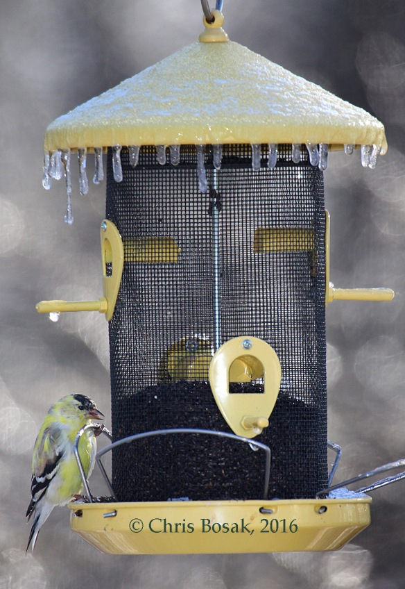 Photo by Chris Bosak An American Goldfinch eats Nyjer seeds from a frozen feeder during a frosty April 2016 morning in Danbury, Conn.