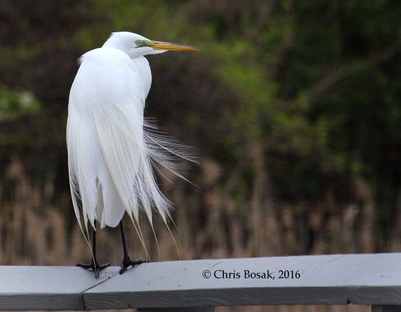 Photo by Chris Bosak A Great Egret stands on a deck railing overlooking the Norwalk River in Norwalk, Conn., April 2016.