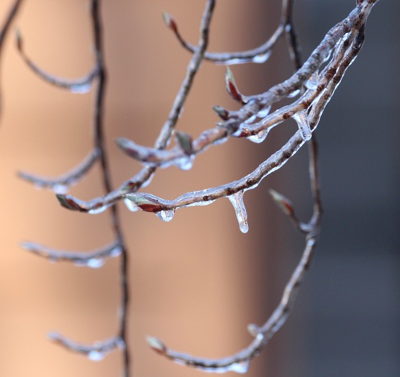 Photo by Chris Bosak Ice covers the branches of a tree in Danbury, Conn., April 2016.