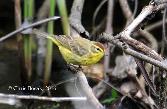 Photo by Chris Bosak A Palm Warbler perches on a branch near a pool of water in Selleck's Woods in Darien, Conn., April 2016.