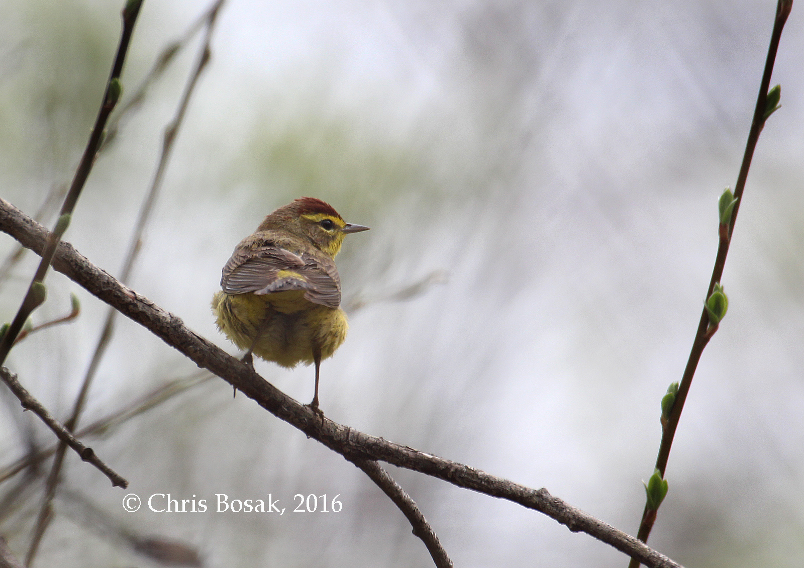 Photo by Chris Bosak A Palm Warbler perches among pussy willows at Selleck's Woods in Darien, Conn., April 2016.