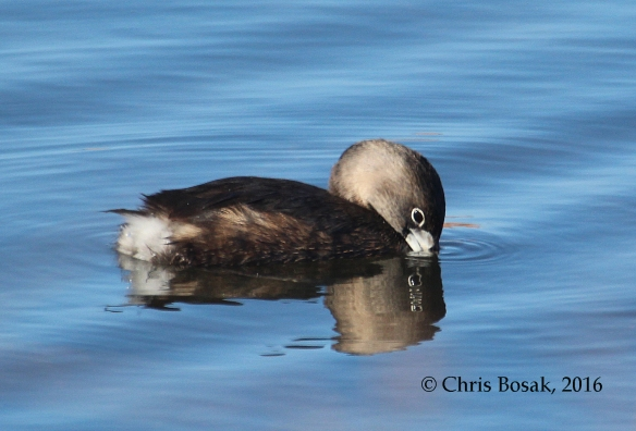 Photo by Chris Bosak A Pied-billed Grebe dips its bill into the water at a pond in Danbury, Conn., April 2016.