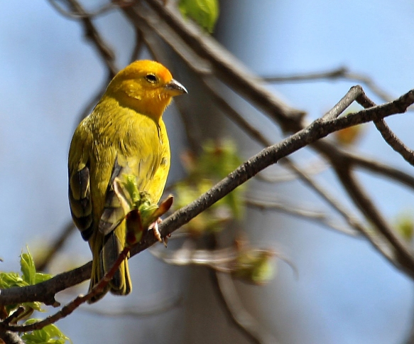 Photo by Chris Bosak An escaped Saffron Finch (?) seen in Brookfield, Conn., April 2016.