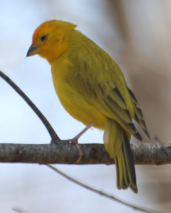 Photo by Chris Bosak An escaped Saffron Finch (?) in Brookfield, Conn,. April 2016.