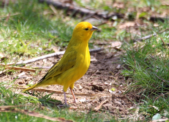 https://birdsofnewengland.files.wordpress.com/2016/04/saffron-finch1.jpg?w=584&h=424
