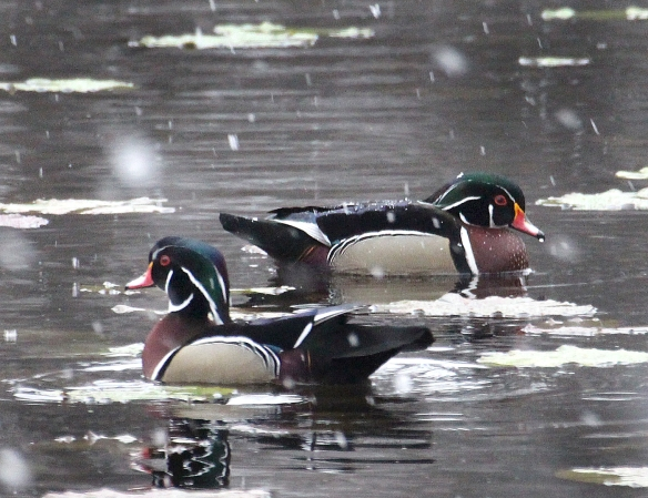 Photo by Chris Bosak Wood Duck drakes swims at Woods Pond in Norwalk, Conn., during an early April snow fall, 2016.