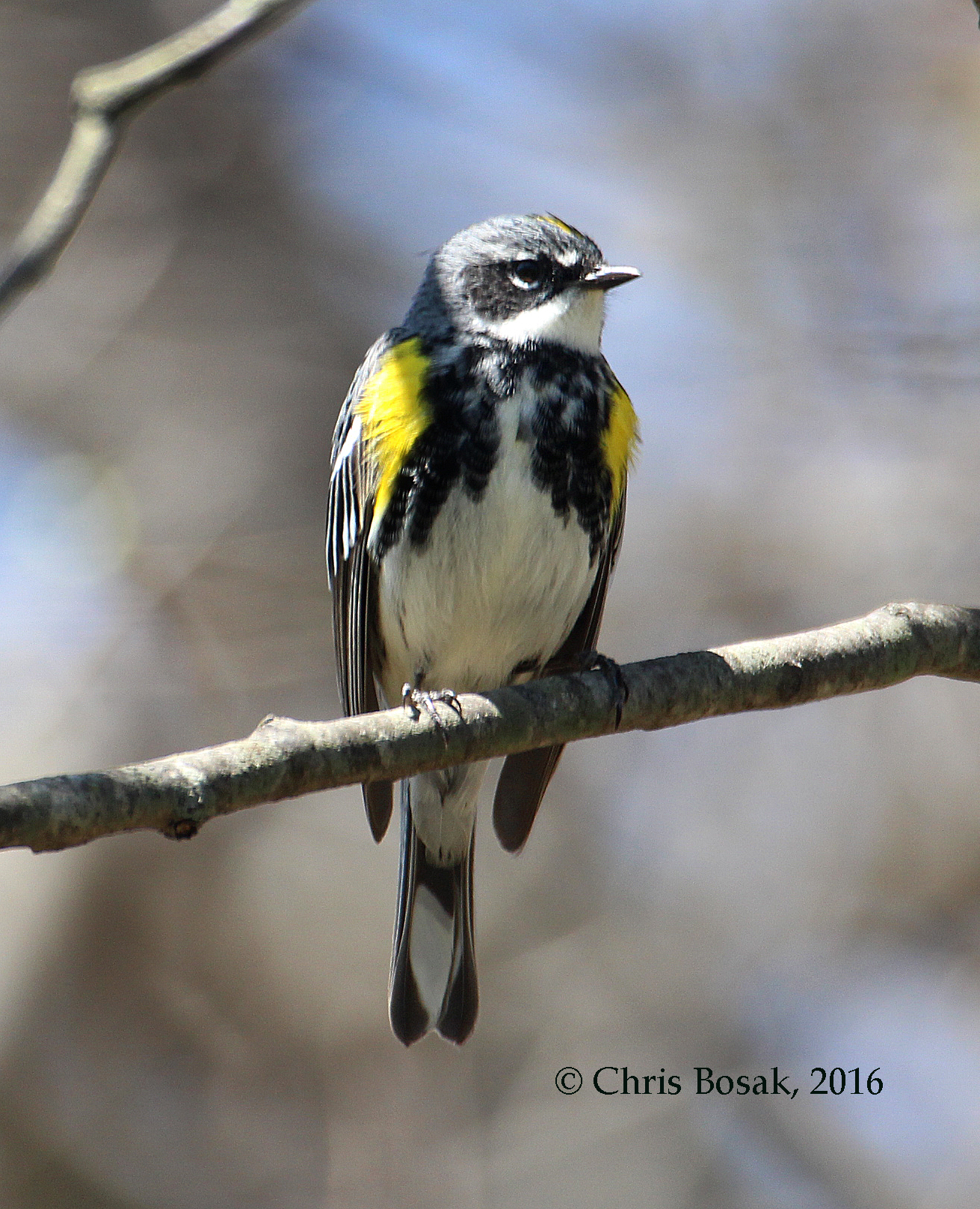 Photo by Chris Bosak A Yellow-rumped Warbler perches on a branch in Selleck's Woods, Darien, Conn., April 2016.