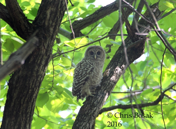 Photo by Chris Bosak A young Barred Owl clings to a branch in the woods in Danbury, Conn., spring 2016.