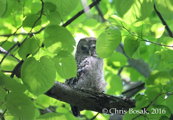 Photo by Chris Bosak A young Barred Owl rests on a branch in Danbury, Conn., spring 2016.