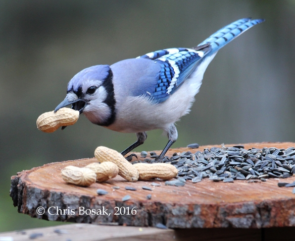 Photo by Chris Bosak A Blue Jay grabs a peanut from a feeder in Danbury, Conn., May 2016.