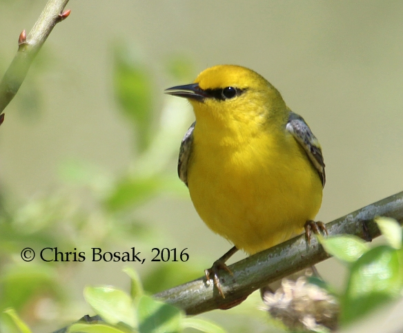 Photo by Chris Bosak A Blue-winged Warbler seen at Fairchild Wildflower Sanctuary in Greenwich, Conn., May 2016.