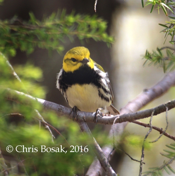 Photo by Chris Bosak A Black-throated Green Warbler perches in a tree in Danbury, Conn., spring 2016.
