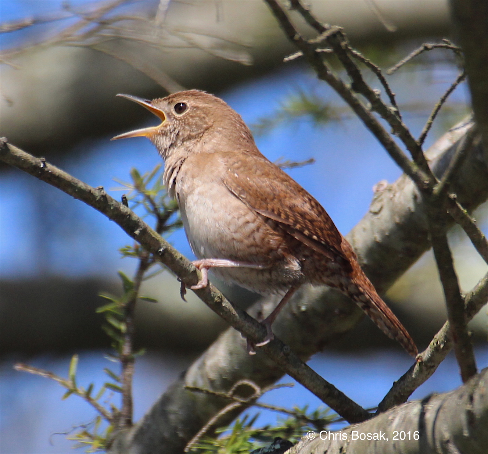 A House Wren sings in a tree during the nesting season 2016.
