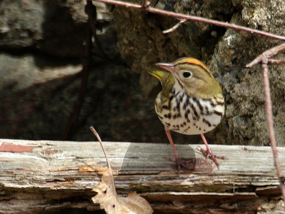 Photo by Chris Bosak An Ovenbird stands on a log in Danbury, Conn., April 2016.
