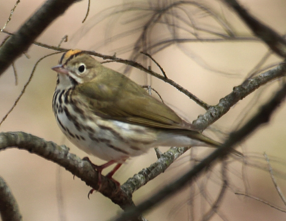 Photo by Chris Bosak An Ovenbird perches on a branch in Danbury, Conn., April 2016.