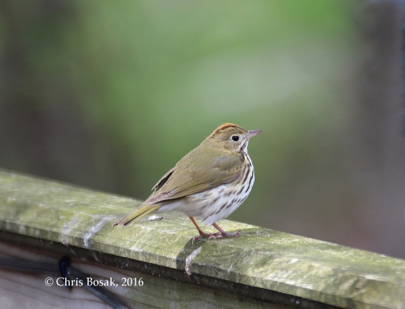 Photo by Chris Bosak An Ovenbird stands on a railing in Danbury, Conn., April 2016.