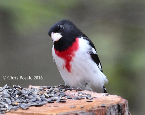 Photo by Chris Bosak A Rose-breasted Grosbeak visits a feeder in Danbury, Conn., May 2016.