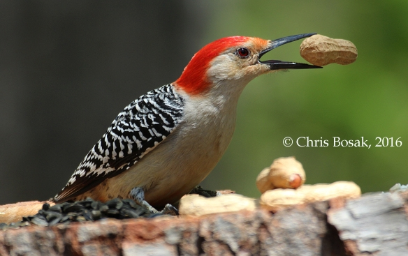 Photo by Chris Bosak A Red-bellied Woodpecker takes a peanut from a homemade birdfeeder in Danbury, Conn., spring 2016.