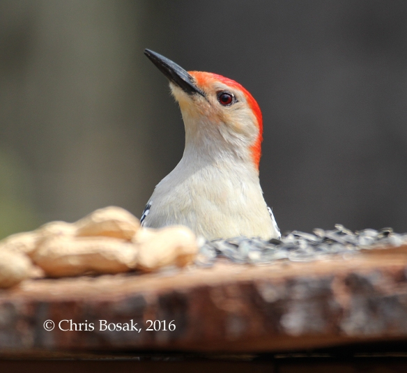 Photo by Chris Bosak A Red-bellied Woodpecker perches near a homemade birdfeeder in Danbury, Conn., spring 2016.