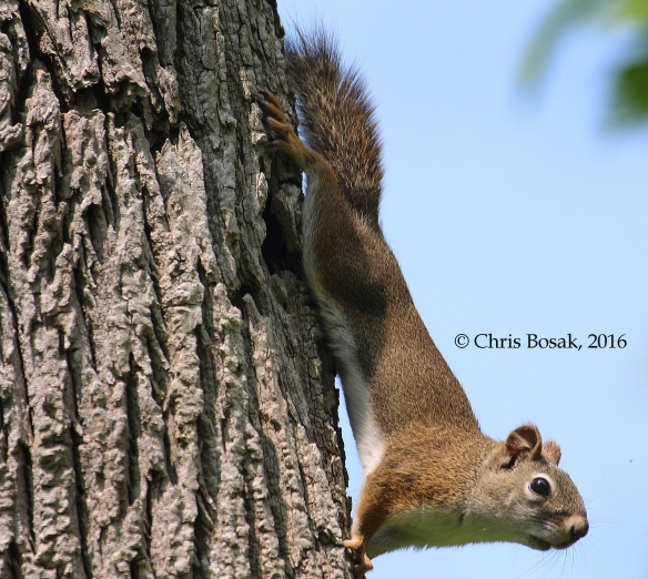 Photo by Chris Bosak A Red Squirrel clings to a tree in Ridgefield, Conn., spring 2016.