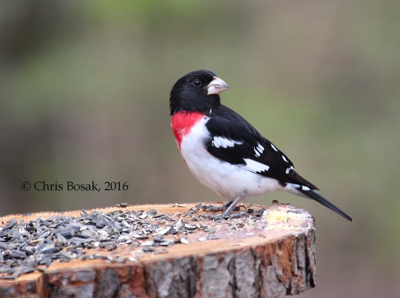 Photo by Chris Bosak A Rose-breasted Grosbeak visits a homemade platform feeder in Danbury, Conn., on May 6, 2016.