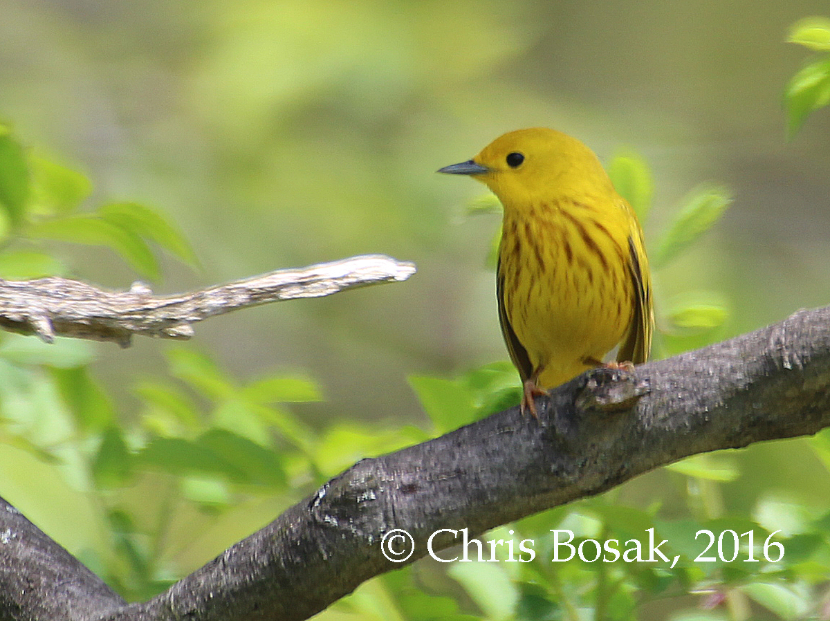Photo by Chris Bosak A Yellow Warbler perches on a branch in Greenwich, Conn., spring 2016.
