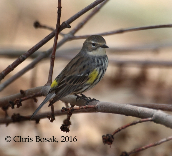 Photo by Chris Bosak A female Yellow-rumped Warbler perches on a branch in Danbury, Conn., spring 2016.